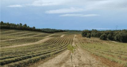 Pistachiers intercalés entre des productions de lavandin dans le Lubéron